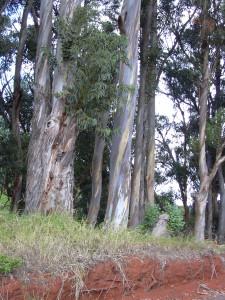 Eucalyptus globulus Bild zur Verfügung gestellt von http://www.hear.org/starr/