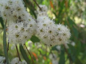 Eucalyptus radiata aus Wikipedia